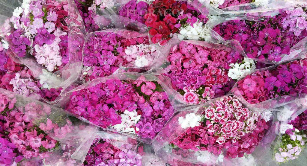 فروش عمده گل میخک در سایت گل فوری